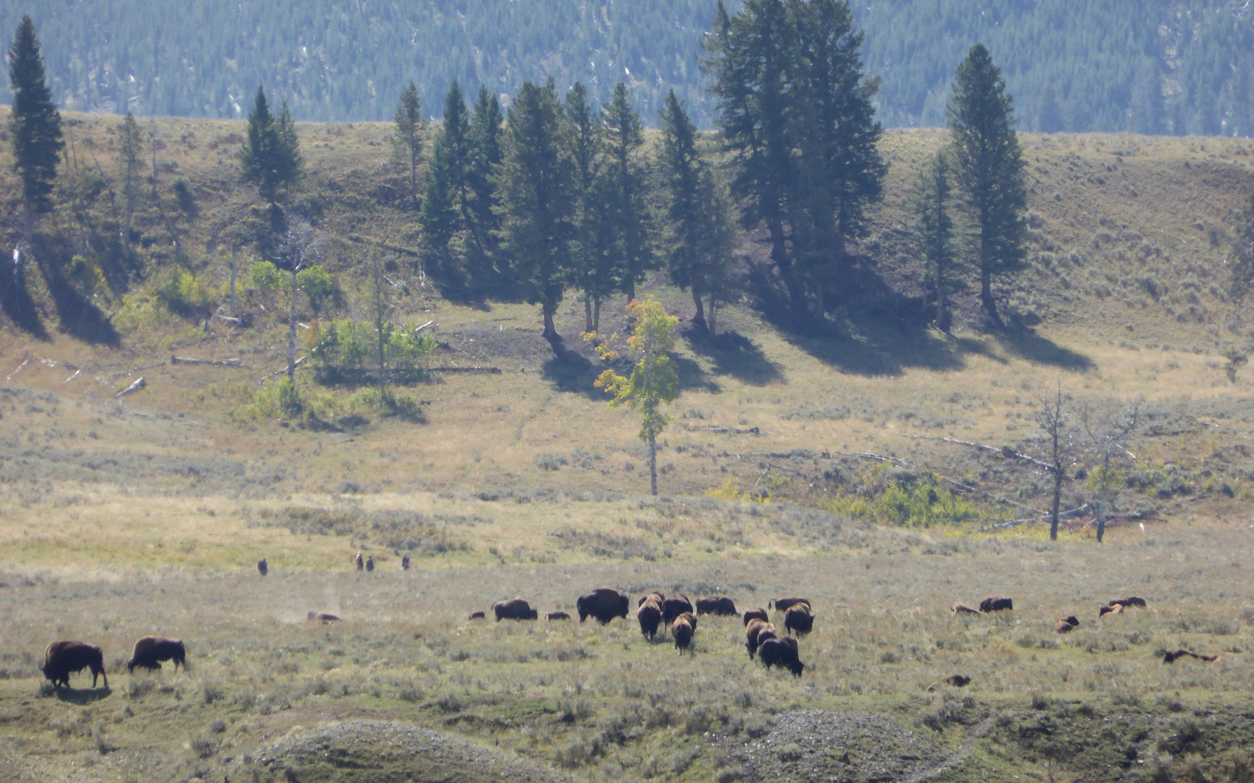 Kuddes met bizons in de Lamar Valley